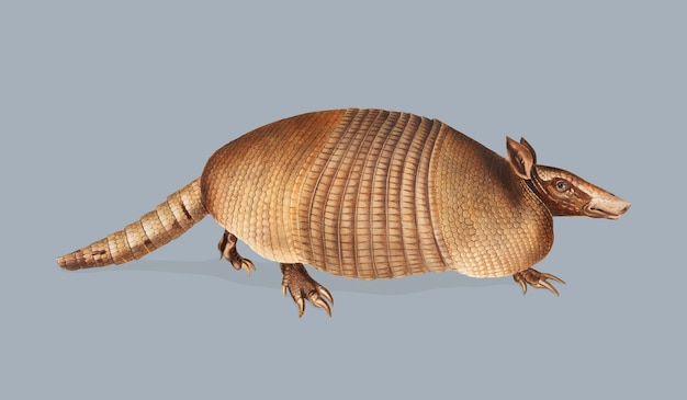 Nine-banded armadillo illustration Free Vector