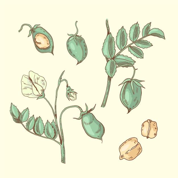 Fagioli di ceci nutritivi e illustrazione della pianta Vettore gratuito