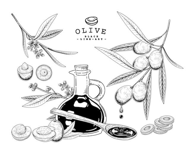 Оливковые рисованной ботанические иллюстрации. Бесплатные векторы