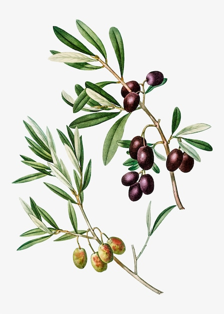 Olive tree branch Free Vector