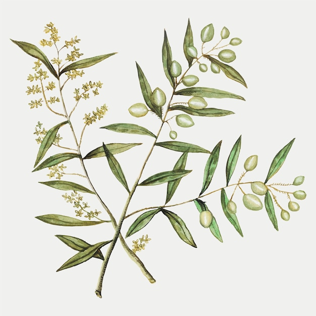 Olive in vintage style Free Vector