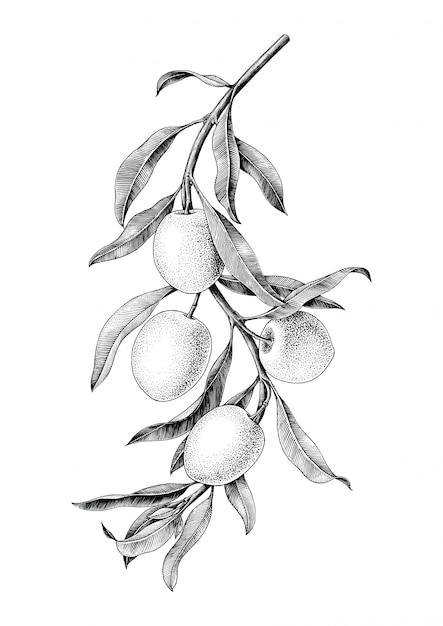Оливковая ветвь иллюстрации черно-белые старинные изолировать на белом фоне Premium векторы