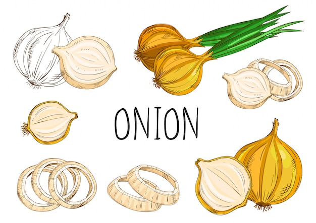 Onion isolated on white background Premium Vector