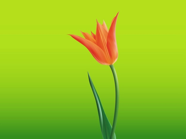 Open tulip fresh flower vector