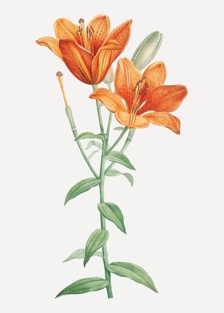 Оранжевая луковичная лилия Бесплатные векторы