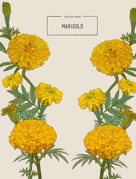Orange marigold flower, illustration. Premium Vector