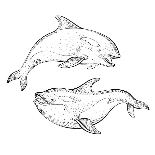 Эскиз косатки косатки, винтажная иллюстрация. искусство морских животных ко всемирному дню океанов. Premium векторы