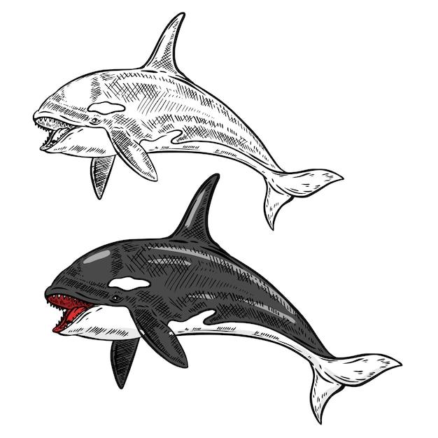 Иллюстрация косатки косатки на белом фоне. иллюстрация Premium векторы