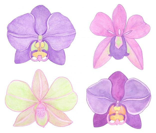 蘭胡蝶蘭の水彩セットのイラスト。満開の美しいエキゾチックな花 Premiumベクター