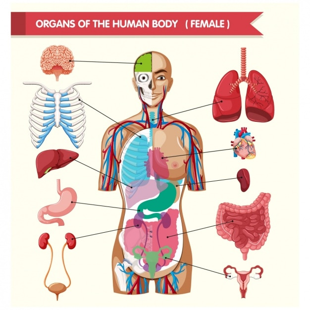 Picture of human organs in the body