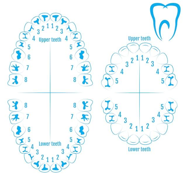 Orthodontist human tooth anatomy vector Premium Vector