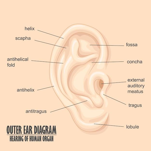 Diagram Of Outer Ear 1512traoberheit