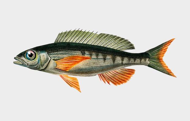 Pandoara fish (sparus erthrinus) illustrated by charles dessalines d'orbigny (1806-1876). Free Vector