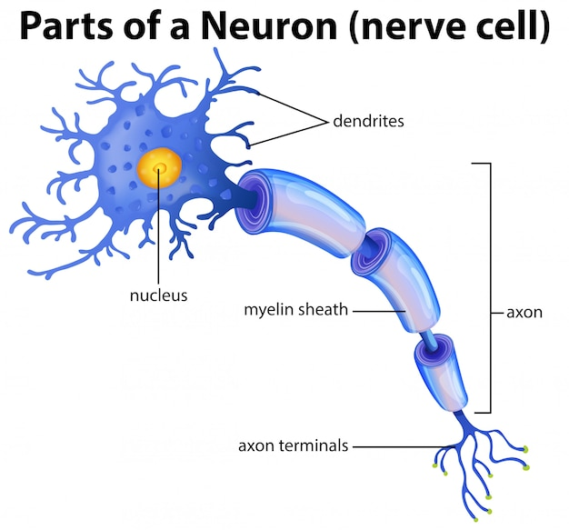 Part of a neuron diagram Premium Vector