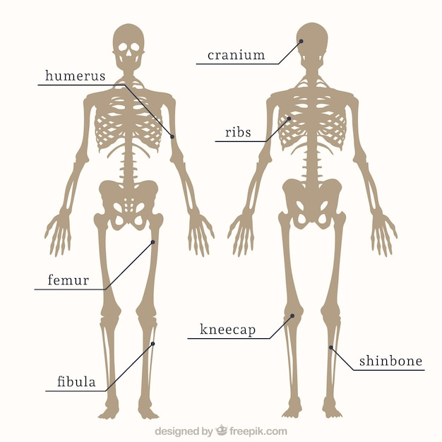 Parts of skeleton Vector | Free Download