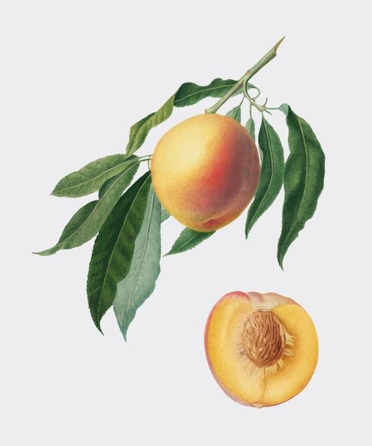Персик из иллюстрации pomona italiana Бесплатные векторы