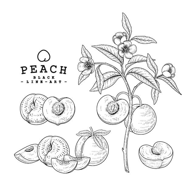 Insieme decorativo dell'illustrazione disegnata a mano della frutta della pesca. Vettore gratuito