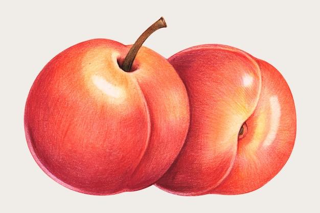 Персик рисованной цветным карандашом Бесплатные векторы