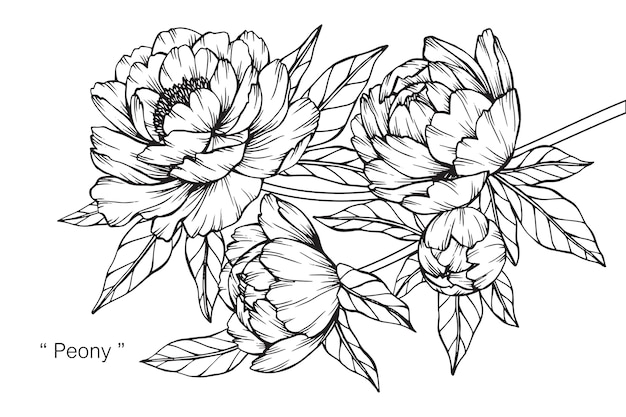 Flowers Vector Drawing Png: Peony Flower Drawing Illustration. Vector