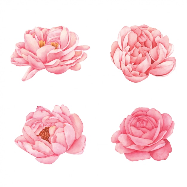 Peony flower hand painted in watercolor Premium Vector