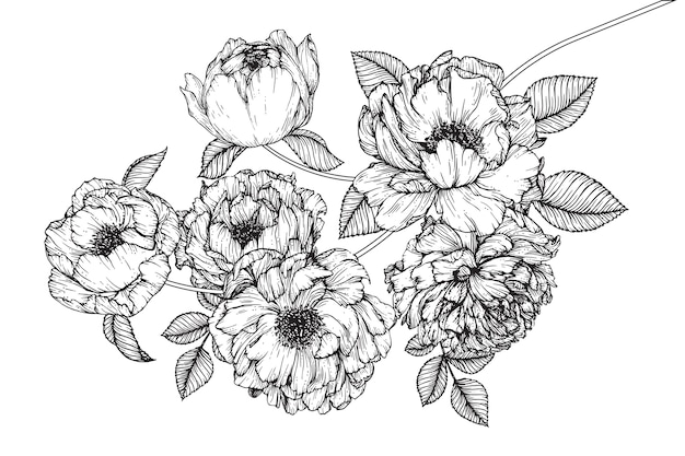 Peony leaf and flower drawings. vintage hand drawn botanical illustrations. Premium Vector