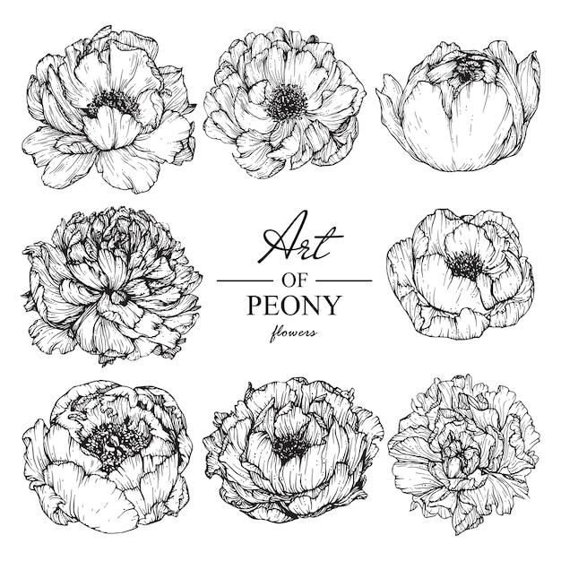 Peony leaf and flower drawings. vintage hand drawn botanical