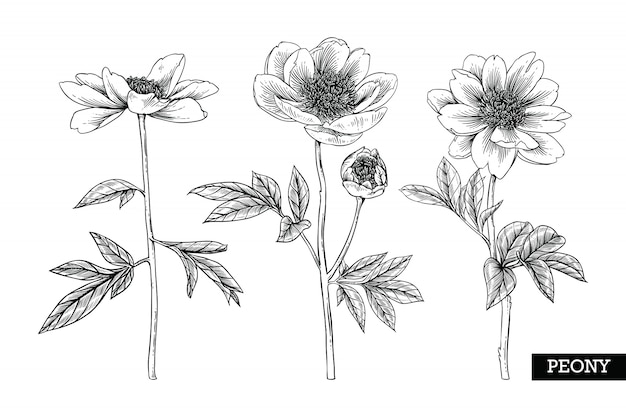 Peony leaf and flower drawings Premium Vector