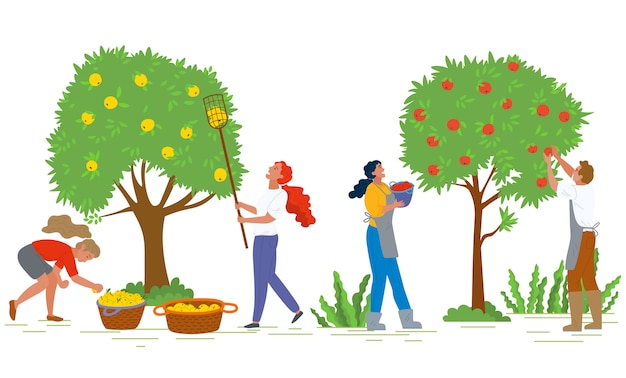 Picking apples farming and agricultural harvest Premium Vector