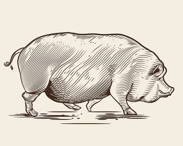 Pig in the style of an engraving. Premium Vector
