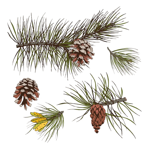 Pine branches colored print Free Vector