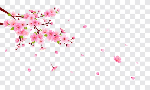 Pink cherry blossom with falling petals on transparent background. Premium Vector