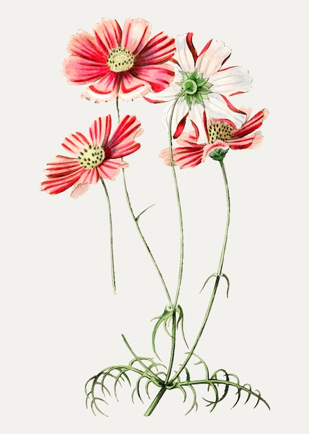 Pink cosmos flower Free Vector