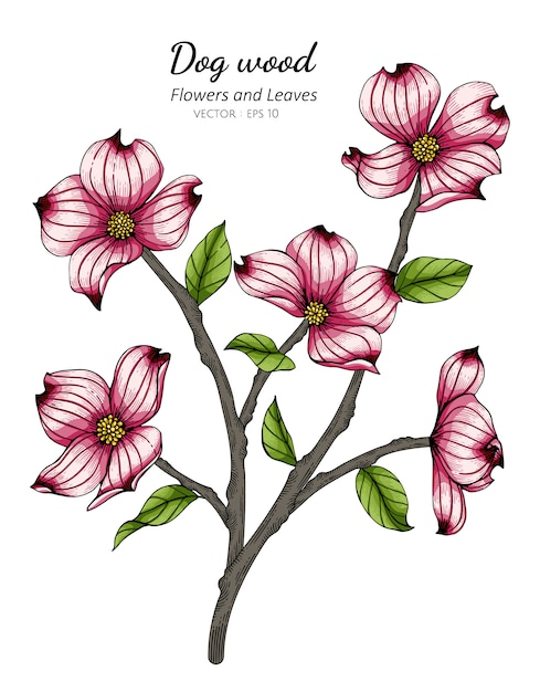Pink dogwood flower and leaf drawing illustration with line art on white backgrounds. Premium Vector