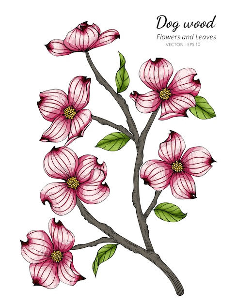 Pink dogwood flower and leaf drawing illustration Premium Vector