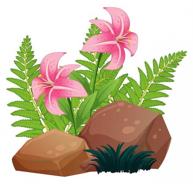 Pink lily flowers and rocks on white Free Vector