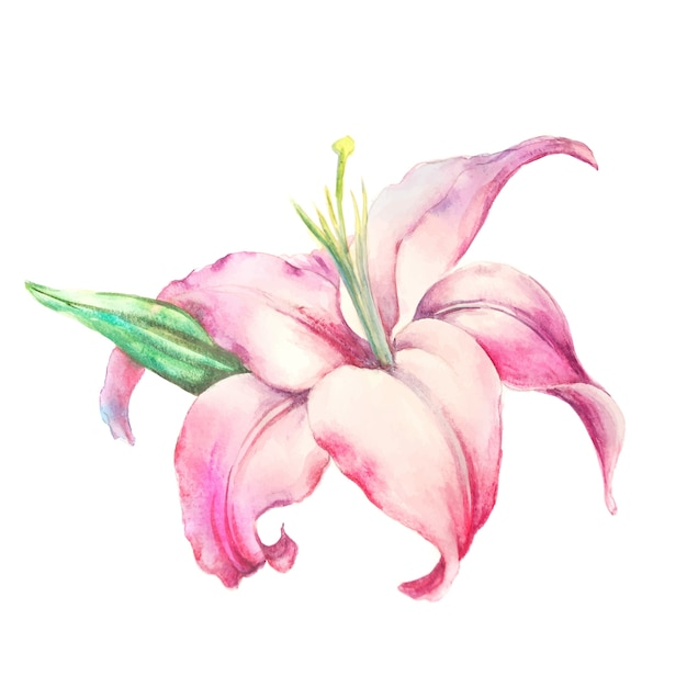 Pink lily  isolated on a white background. Free Vector