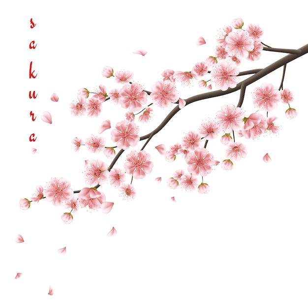 Pink sakura flowers isolated on white. Premium Vector