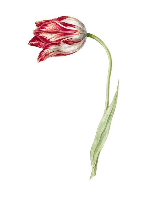 Pink tulip by Jean Bernard