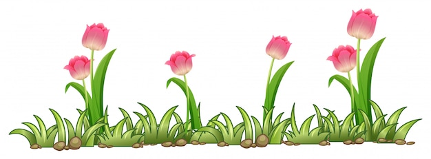Pink tulip garden on white background