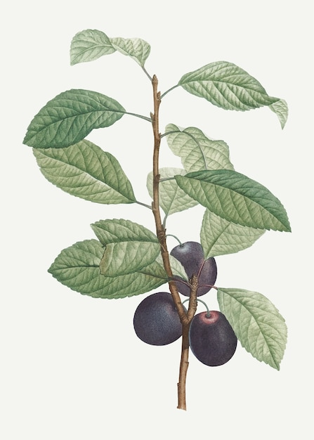 Plums on a branch Free Vector