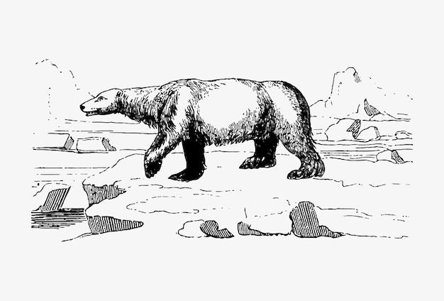 Polar bear vintage drawing Free Vector