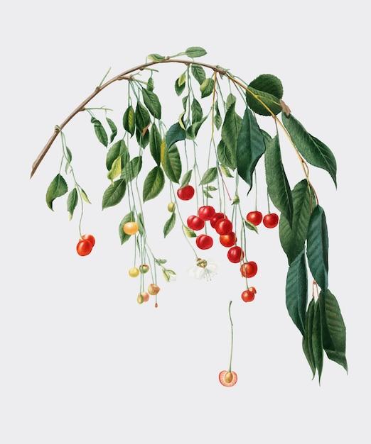 Pomona italianaイラストのvisciola cherries 無料ベクター