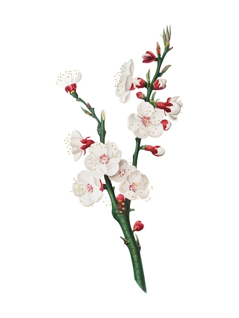 Pomona italianaイラストのアプリコットの花 無料ベクター