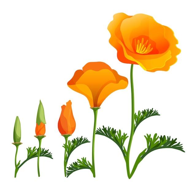 ポピーの昇順または成長の段階。ポピーのつぼみの開口部のリアルなイラスト。緑の葉と満開の美しい赤い花。麻薬植物植物植物ケシ Premiumベクター