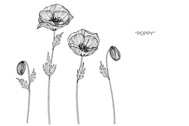 poppy flower drawing illustration vector premium download
