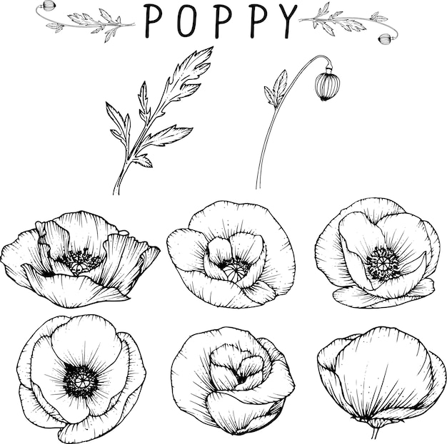 Poppy Flower Drawings Vector Premium Download
