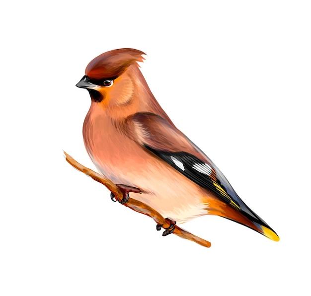 Портрет птицы свиристель, сидя на ветке на белом фоне, рисованный эскиз. иллюстрация красок Premium векторы
