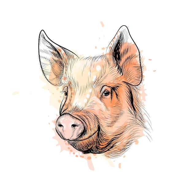 Portrait of a pig head from a splash of watercolor, chinese zodiac sign year of pig, hand drawn sketch.  illustration of paints Premium Vector