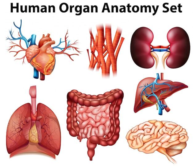 Poster of human organ anatomy set Free Vector