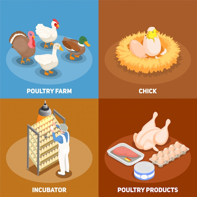 Poultry concept set of chick in nest poultry farm incubator and poultry products square icons isometric Free Vector